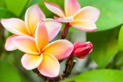 Plumeria Belle inflorescence rose Photos libres de droits
