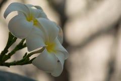 Plumeria Biały Kwitnący piękny Dostaje pięknego bokeh świtu ligh Obrazy Stock