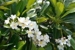 Plumeria bianca Immagini Stock Libere da Diritti