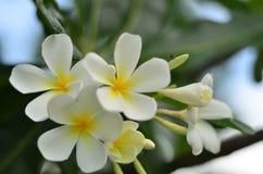 Plumeria bianca Fotografie Stock