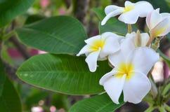 Plumeria bianca Immagine Stock