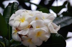 Plumeria bianca e gialla sull'albero Fotografia Stock