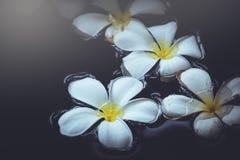 Plumeria bianca naturale di aromaterapia della stazione termale dell'acqua su bello Immagini Stock Libere da Diritti