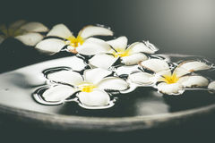 Plumeria bianca naturale di aromaterapia della stazione termale dell'acqua su bello Fotografie Stock