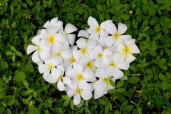 Plumeria bianca o frangipane del cuore su Pinto Peanut verde immagine stock
