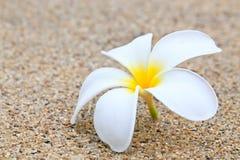 Plumeria bianco Fotografia Stock Libera da Diritti