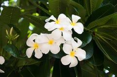 Plumeria bianco immagine stock