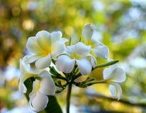 Plumeria bianco Immagini Stock
