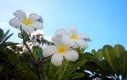 Plumeria & blå himmel Arkivfoton