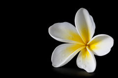 Plumeria on Black Royalty Free Stock Photography