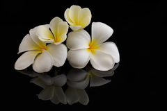 Plumeria. On black background with reflection Royalty Free Stock Photography