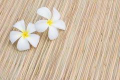 Plumeria blanc Photos libres de droits