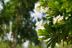 Plumeria blanc image libre de droits