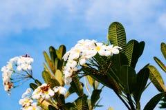 Plumeria blanc Image stock