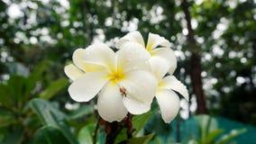 Plumeria blanc Photographie stock libre de droits