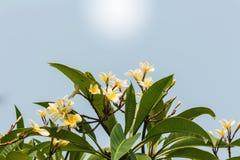 Plumeria blanc d'effet de filtre de vintage Image libre de droits