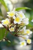 Plumeria blanc et jaune Images stock