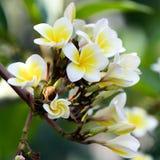 Plumeria blanc et jaune Image stock