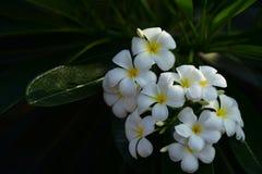 Plumeria blanc et jaune Fleurs colorées Image stock