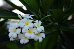 Plumeria blanc et jaune Fleurs colorées Photos stock