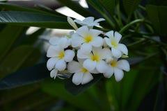 Plumeria blanc et jaune Fleurs colorées Photos libres de droits