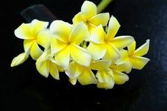 Plumeria blanc et jaune Fleurs colorées Photo libre de droits