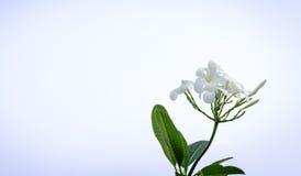 Plumeria blanc (fleur de Frangipani) Photographie stock libre de droits