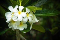 Plumeria blanc, fleurs de frangipani Photos stock