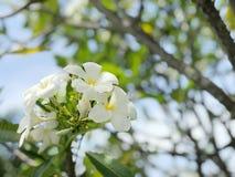 Plumeria blanc, frangipani Image libre de droits