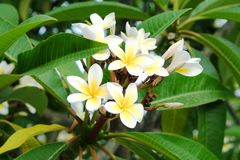 Plumeria blanc ou frangipani Le parfum doux du Plumeria blanc fleurit dans le jardin Frangipani de plan rapproché Photos libres de droits