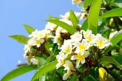 Plumeria blanc ou frangipani Le parfum doux du Plumeria blanc fleurit dans le jardin Frangipani de plan rapproché Images stock