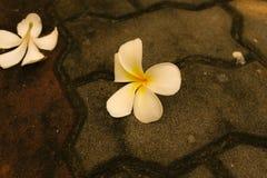 Plumeria blanc (PS de Plumeria ) Image stock