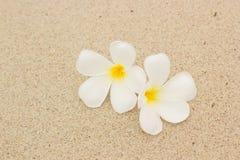 Plumeria blanc sur la plage Photo libre de droits