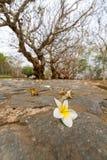 Plumeria blanc sur le plancher Photographie stock libre de droits