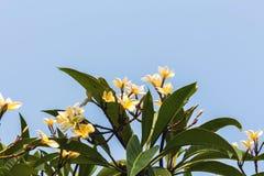 Plumeria blanc sur le plumeria Photographie stock libre de droits