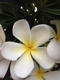 Plumeria blanco Imagen de archivo libre de regalías