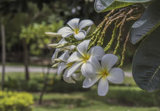 Plumeria blanco Fotos de archivo