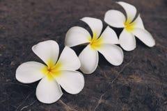 Plumeria blanco del frangipani Foto de archivo libre de regalías