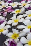 Plumeria blanco en agua. Fotografía de archivo