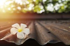 Plumeria blanco en el tejado viejo del cinc Foto de archivo