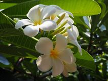 Plumeria blanco hermoso Imagen de archivo