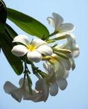 Plumeria blanco hermoso Fotografía de archivo