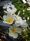 Plumeria blanco hermoso Foto de archivo