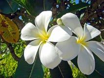 Plumeria blanco, Kauai, Hawaii Fotos de archivo libres de regalías
