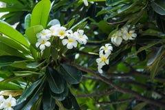 Plumeria blanco o frangipani Olor dulce del Plumeria blanco la Florida foto de archivo libre de regalías