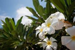 Plumeria blanco y amarillo de la flor del Frangipani Imagen de archivo libre de regalías