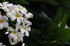 Plumeria bloeiende installaties Royalty-vrije Stock Foto