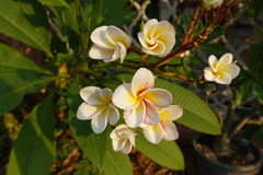 Plumeria blommar (frangipanien, blommor som, är tropiska) arkivbilder