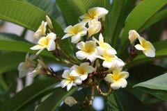 Plumeria blommar i rabatt royaltyfri bild