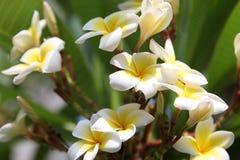 Plumeria blommar i rabatt fotografering för bildbyråer